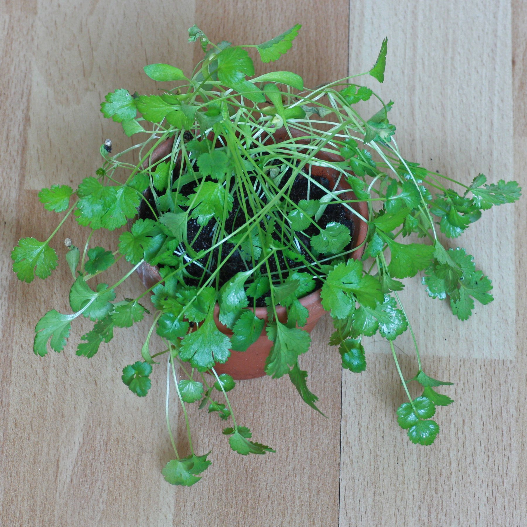 Korianderpflanzen