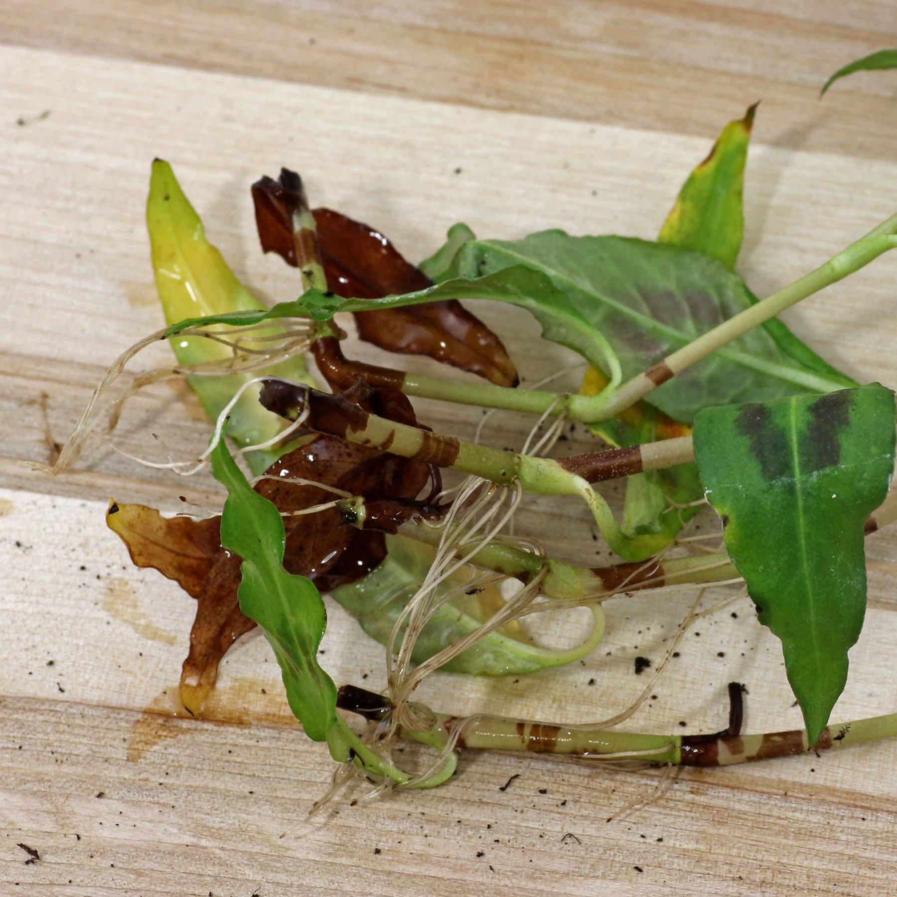 Stecklinge von Vietnamesischem Koriander